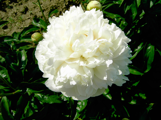 Wholesale White Bare Root Peonies For Sale | Swedish Touch ...